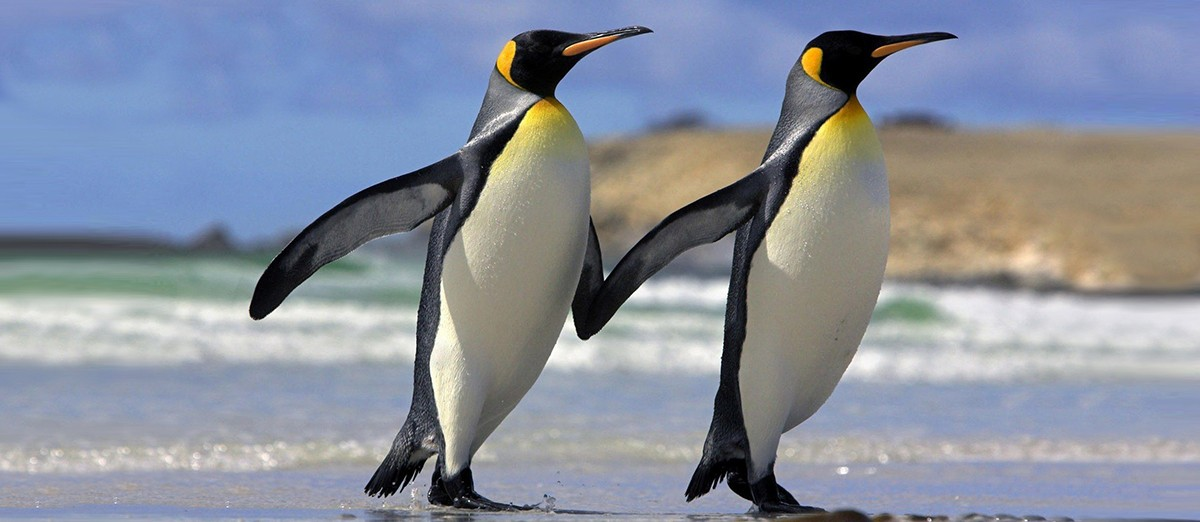 Two emperor penguins walking fin to fin on a sheet of ice.